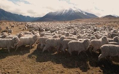 Glerups-Schafe-auf-der-Weide